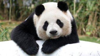 Panda_Fusion